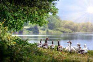 wild geese, waterfowl, flock